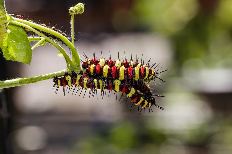 Caterpillar of Leopard lacewing (Cethosia cyane euanthes). Butterfly eating food stock photography