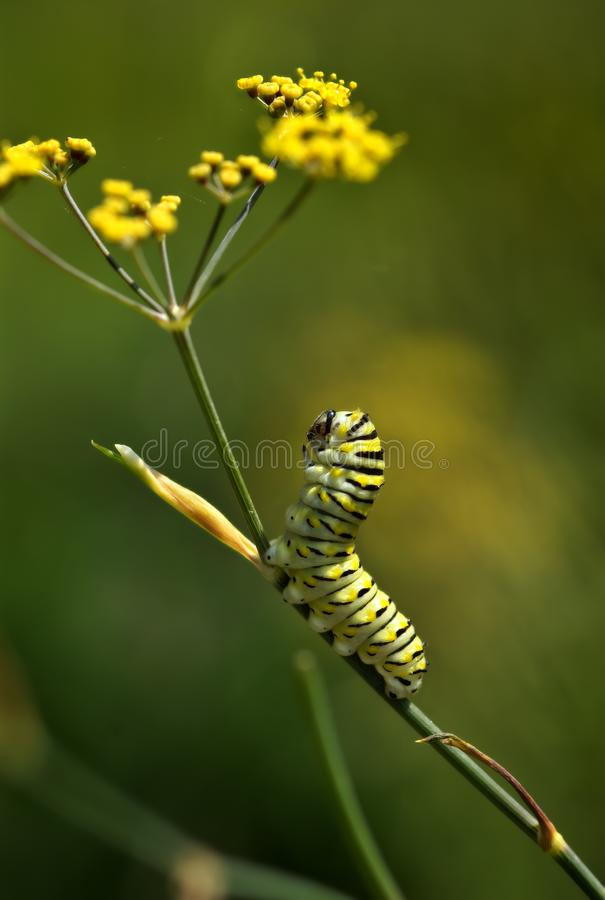 Download Caterpillar lifts his head stock image. Image of larva - 8379613