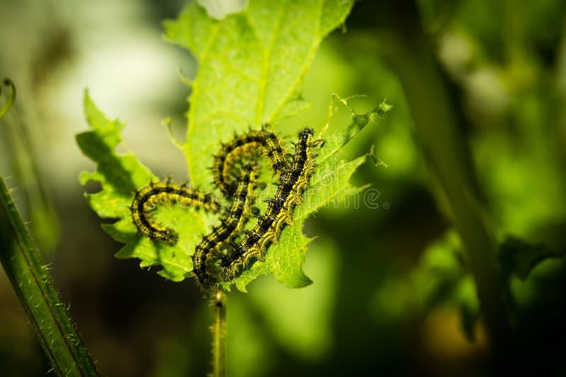 Caterpillar mangeant sur une ortie photos libres de droits