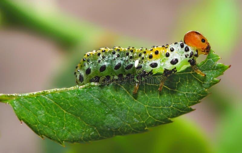 Caterpillar mangia la foglia immagini stock