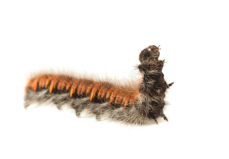 Caterpillar melenudo fotos de archivo