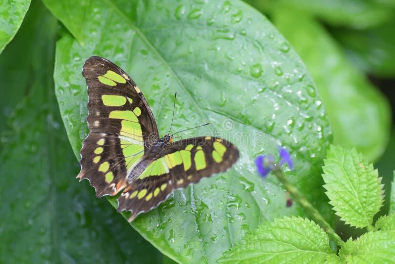 Caterpillar in metamorfosi nella farfalla fotografia stock libera da diritti