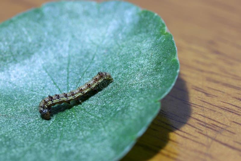 Caterpillar mit grünem Blatt auf hölzernem Hintergrund die Larve eines Schmetterlinges oder der Motte lizenzfreie stockfotos