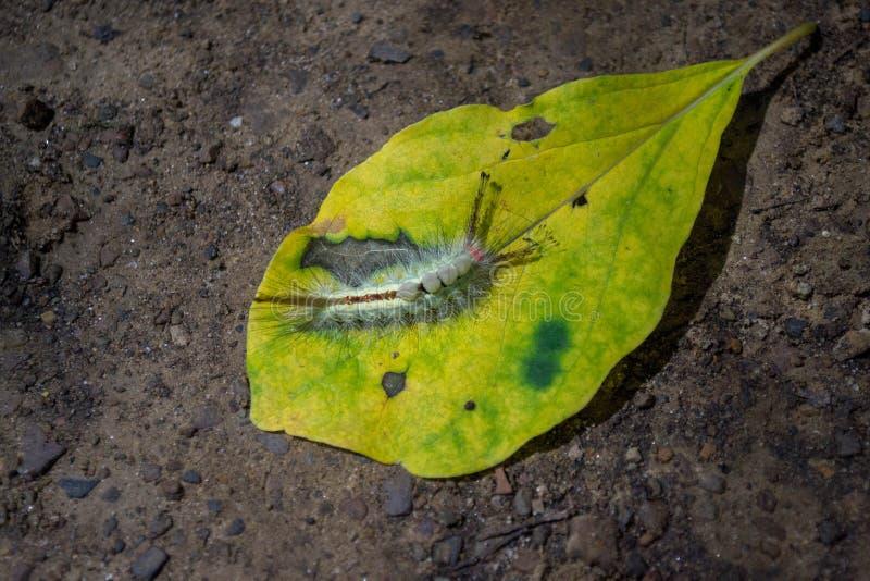 Caterpillar, mite de touffe marquée blanche sur une feuille images stock