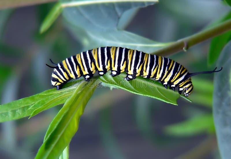 Caterpillar Of Monarch Bufferfly. Free Public Domain Cc0 Image