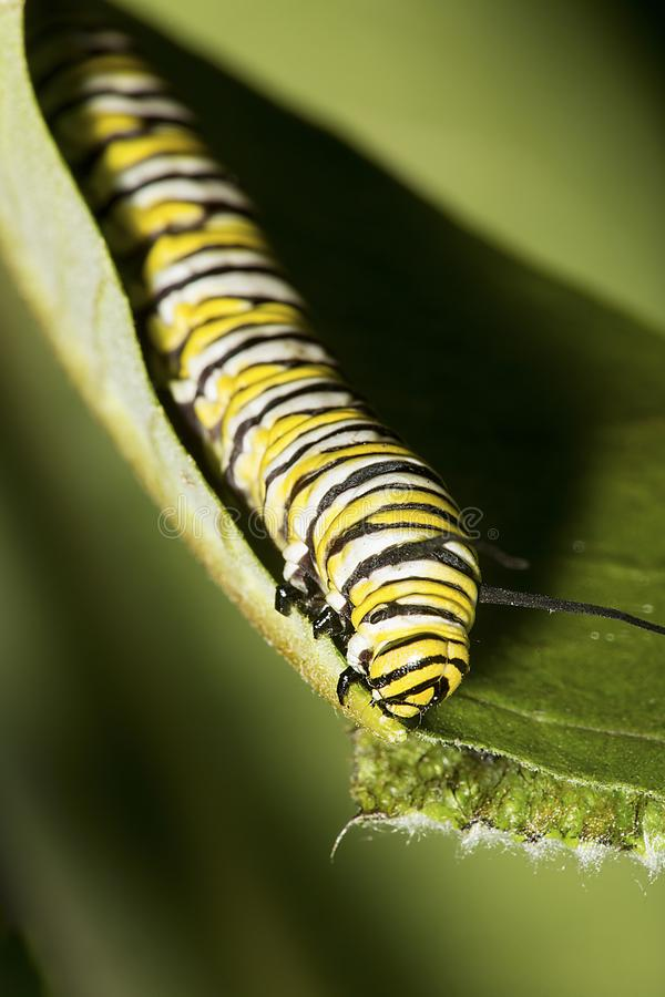 Monarch butterfly caterpillar on a milkweed leaf. stock image
