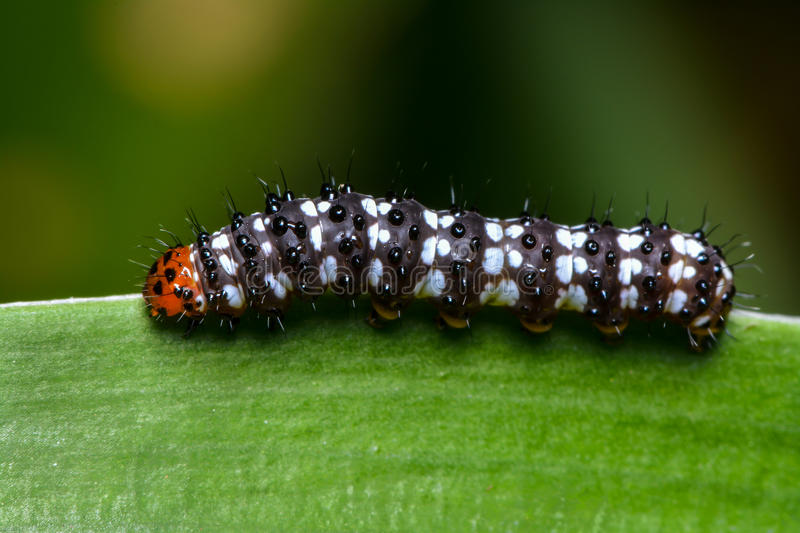 Caterpillar. A caterpillar moving very slowly on a leaf stock images