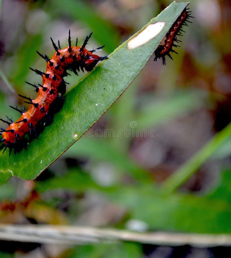 Caterpillar na ação imagem de stock