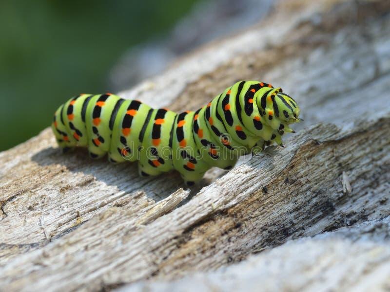Caterpillar na naturze obraz royalty free