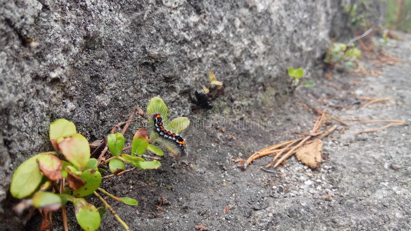 Caterpillar na skale obrazy royalty free
