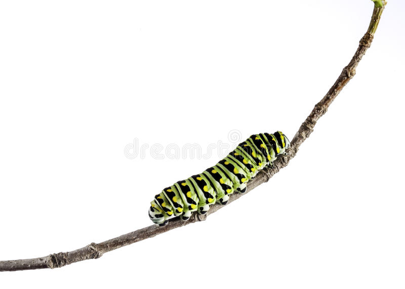 Caterpillar negro del este (polyxenes de Papilio) foto de archivo