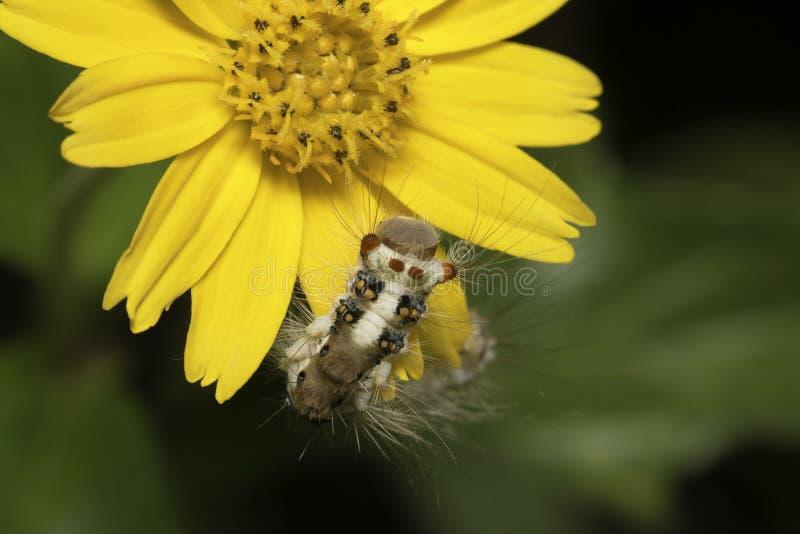 Caterpillar och gulingblomma arkivfoto