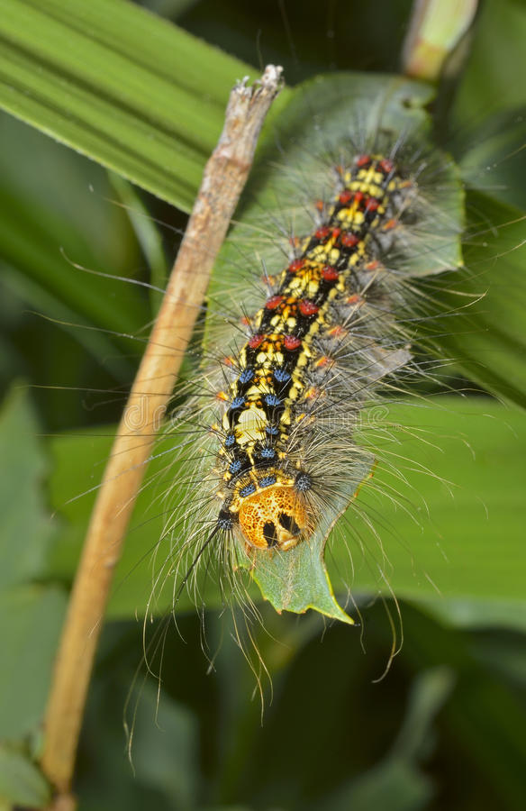 Free Caterpillar Of Gypsy Moth 4 Stock Photos - 42740233
