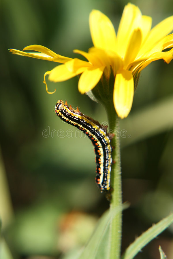 Free Caterpillar On Flower Royalty Free Stock Photos - 5660168