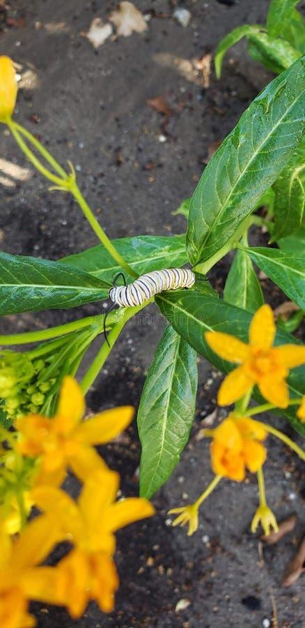 Caterpillar op gouden milkweed in zomer stock afbeelding