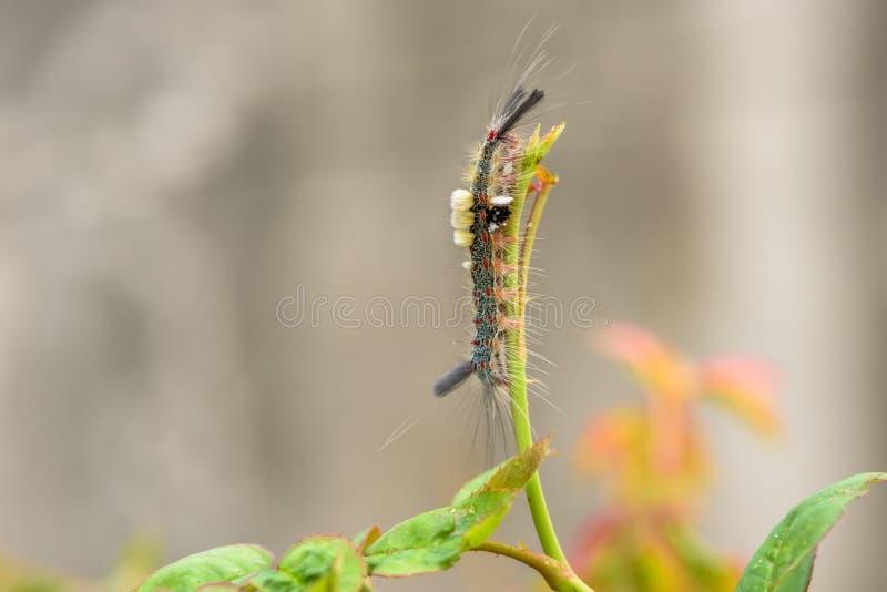 Caterpillar ou Caterpillar velu photo libre de droits