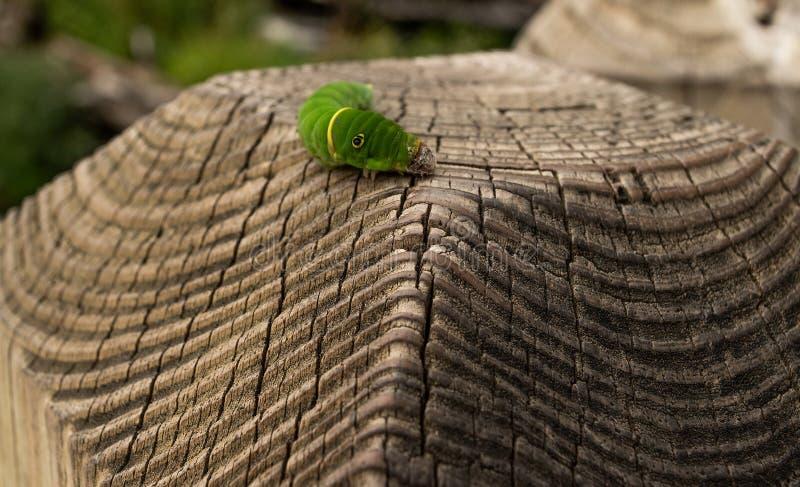 Caterpillar p? staketet arkivfoton