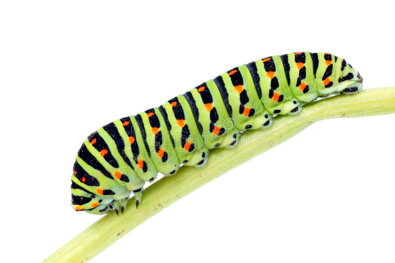 Caterpillar-Papilio machaon. Swallowtail butterfly caterpillar (Papilio machaon).Isolated on white background royalty free stock photos