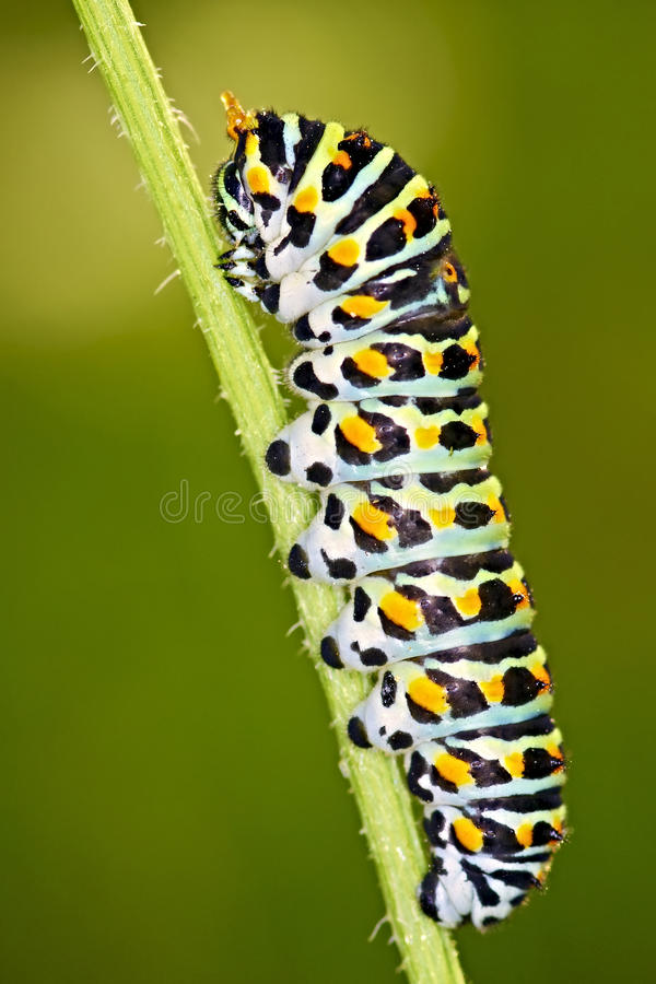 Caterpillar Papilio machaon. Macro shot of a caterpillar Papilio machaon royalty free stock photos