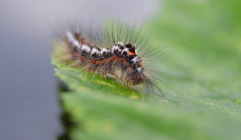Caterpillar peludo en una hoja imagen de archivo libre de regalías
