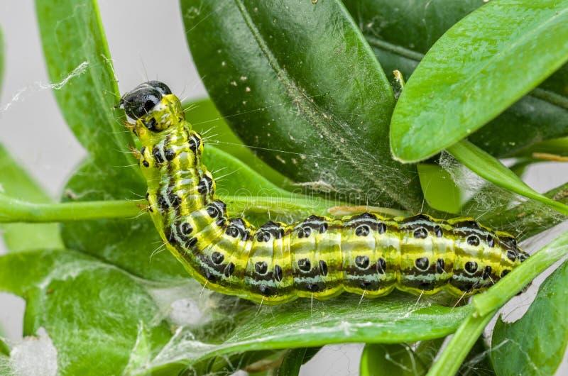Caterpillar pudełkowaty drzewny ćma zdjęcia royalty free