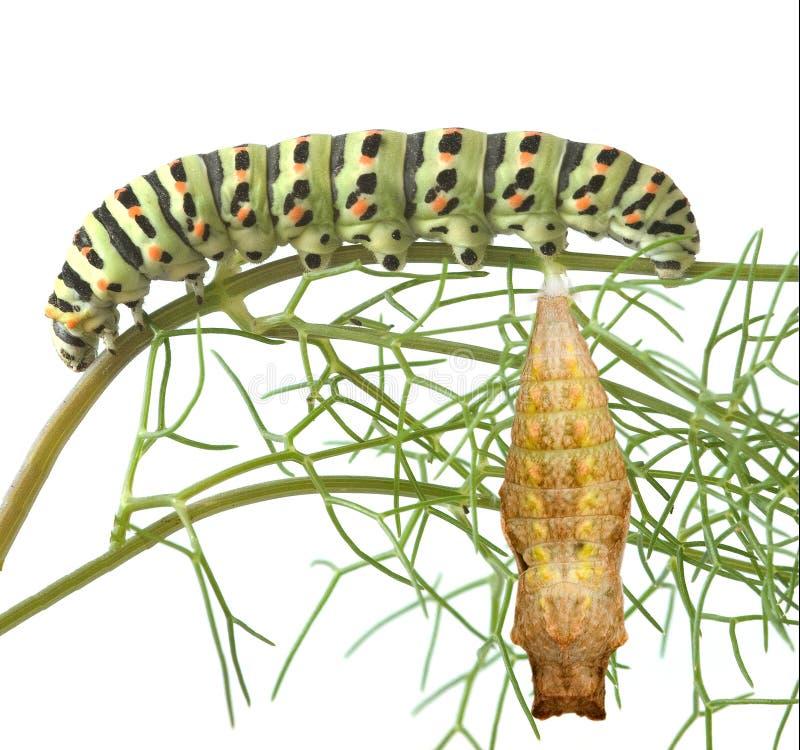 Caterpillar and pupae of swallowtail. Close up of caterpillar and pupae of swallowtail royalty free stock photos