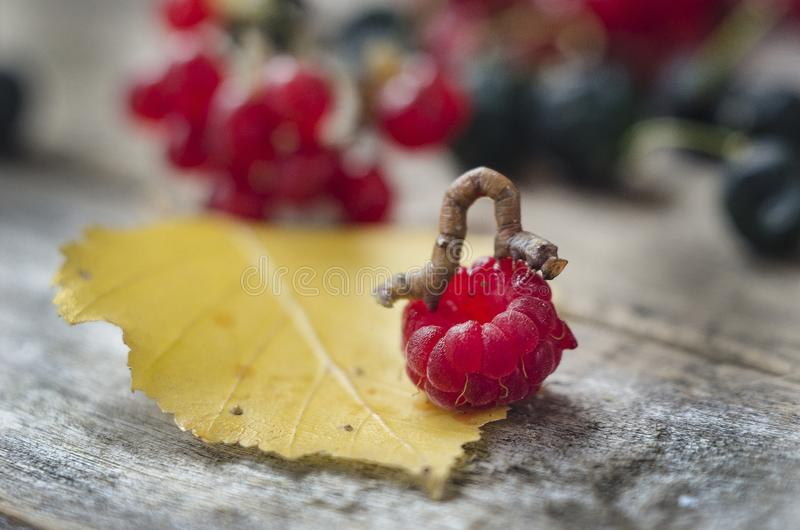 Caterpillar on raspberry berry and yellow leaf close-up on a wooden background stock photo