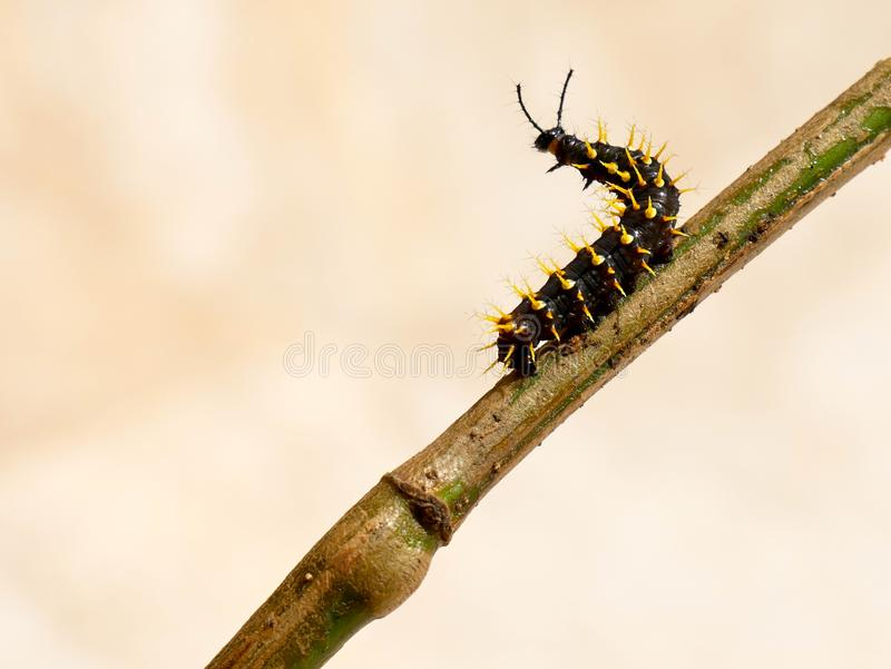 Caterpillar of a rusty tipped page butterfly spiroeta epaphus crawling on a stick going left royalty free stock images