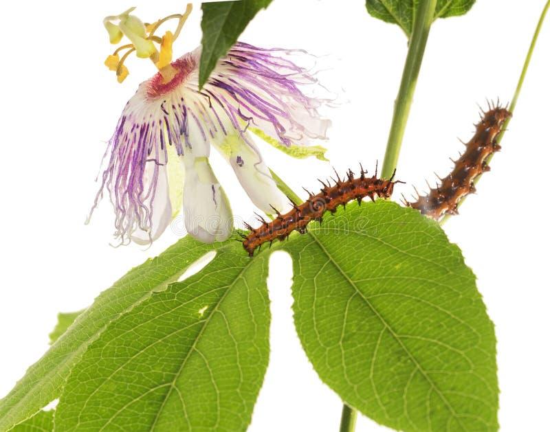 Caterpillar-Schmetterling Golf Fritillary Agraulis-vanillae auf t stockfotografie