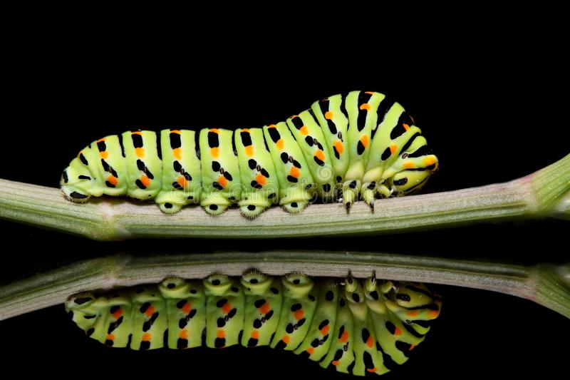 Caterpillar-Schmetterling mahaon Nahaufnahme auf einem schwarzen Hintergrund mit ungewöhnlicher Reflexion stockbilder