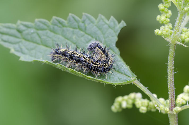 Caterpillar. Of small tortoiseshell (Aglais urticae) on nettle stock photo