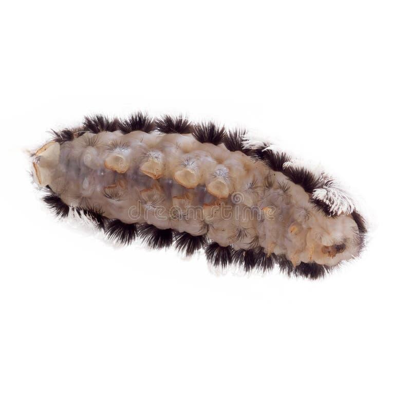 Caterpillar of the Southern Flannel moth Megalopyge opercularis Venomöse Stacheln unter den Haaren können sehr schmerzhaft sein stockbilder