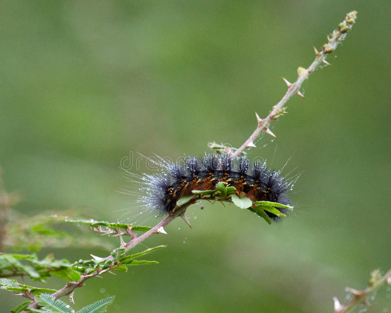 Caterpillar Sparkling in the Sun royalty free stock photo