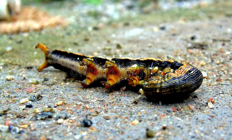 Caterpillar Squeeze himself after fall down royalty free stock images