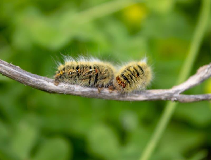 Caterpillar on a Stick. A grass eggar caterpillar on a stick with a green out of focus background stock photo