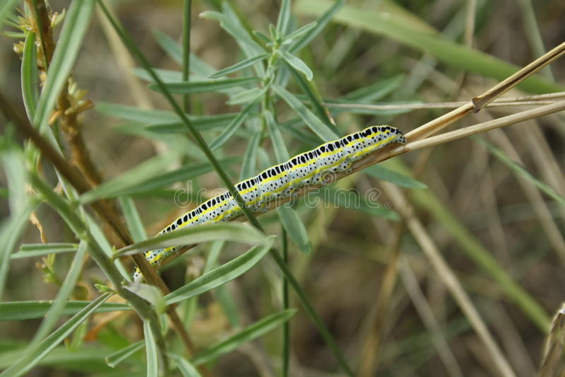Caterpillar on straw stock photography