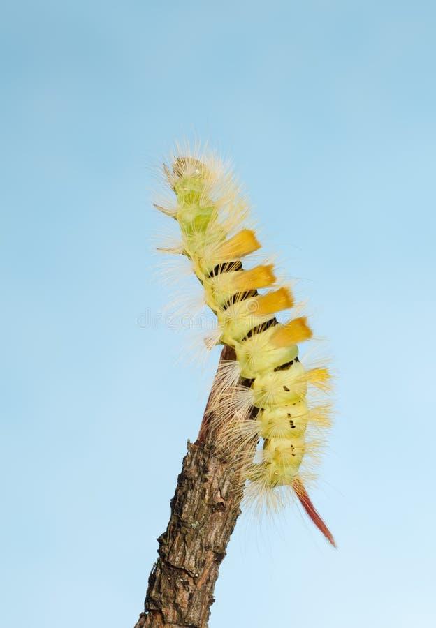 Caterpillar strive up. Hairy yellow caterpillar with red tail Calliteara pudibunda reach up on top of tree twig over blue sky background stock photos