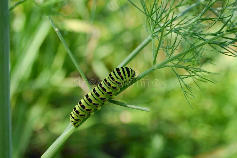 Caterpillar sur l'aneth de branche image stock