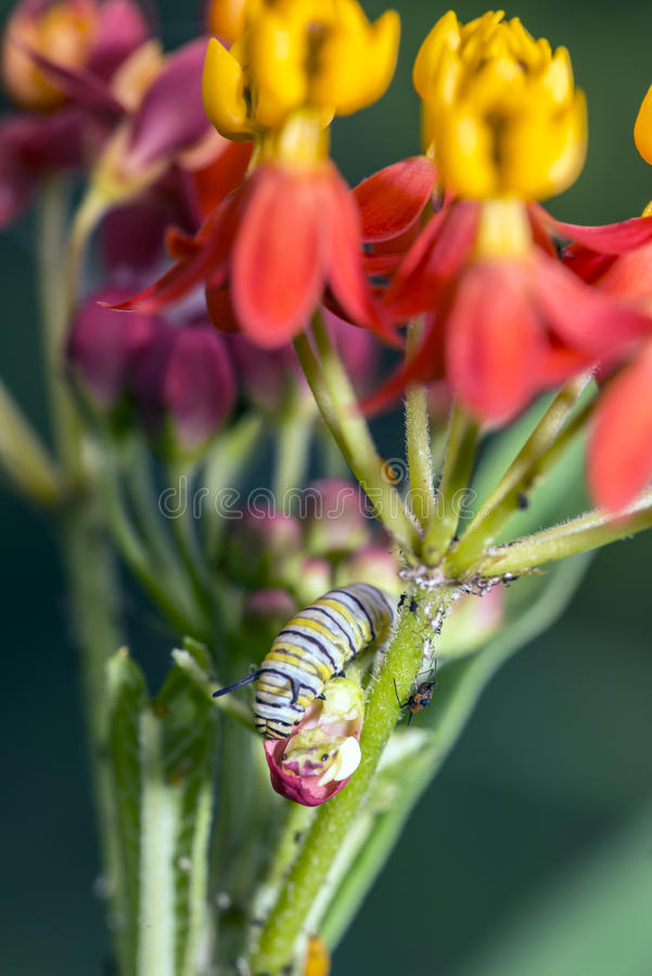 Caterpillar sur le milkweed images libres de droits