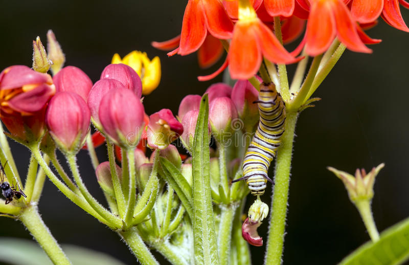 Caterpillar sur le milkweed photos stock