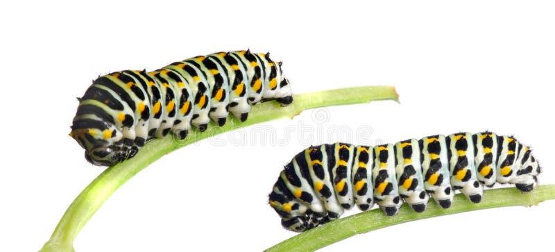 Caterpillar of the Swallowtail stock image