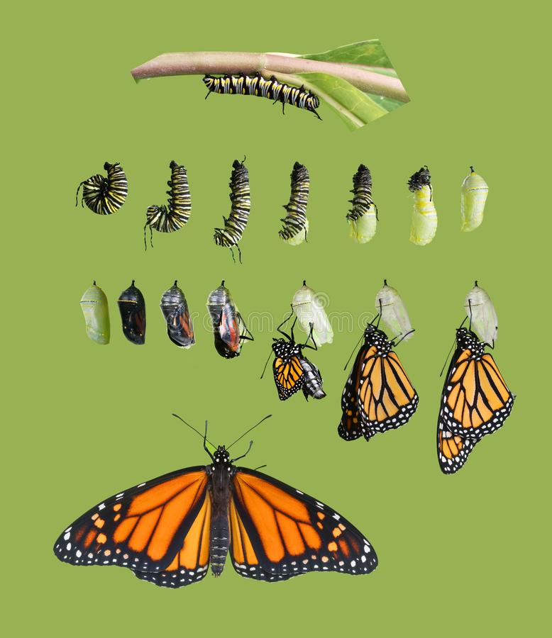 From caterpillar to butterfly. Monarch butterfly cycle. Isolated. From caterpillar to butterfly. Monarch butterfly Danaus plexippus cycle. Isolated on green stock photography