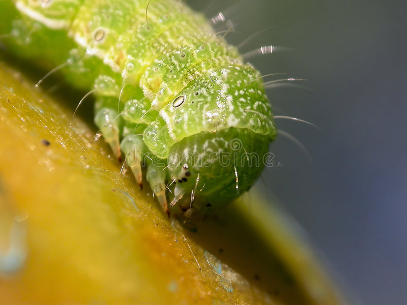 Caterpillar on tomato royalty free stock photos