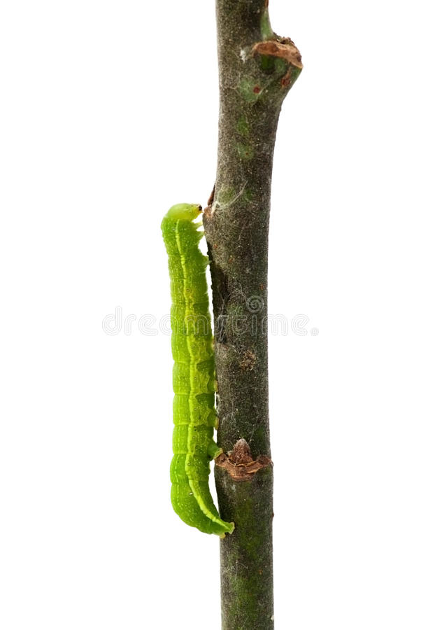 Download Caterpillar on a twig stock image. Image of close, crawl - 20179959