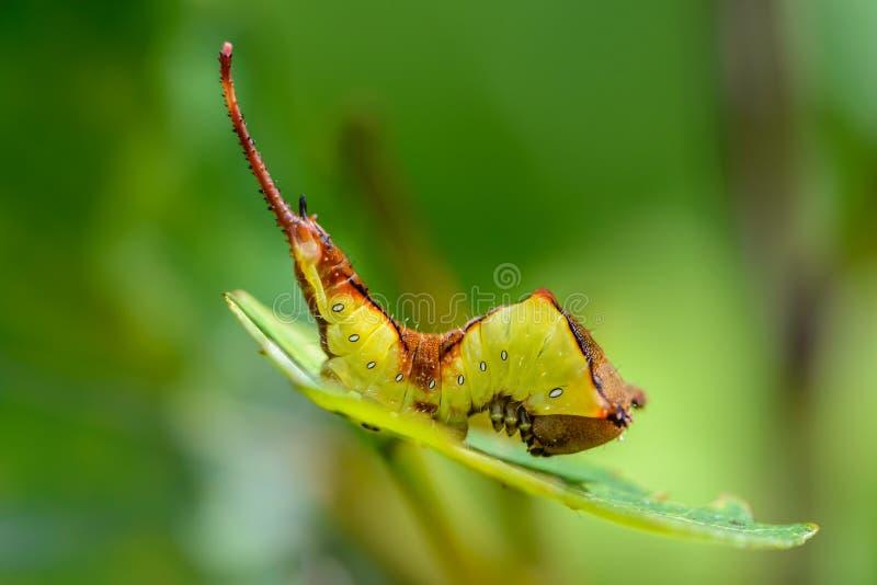 Caterpillar van ceruraerminea met een lange staartzitting op blad in een gebogen staat royalty-vrije stock fotografie