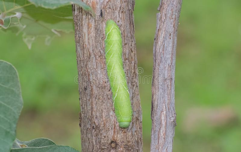 Caterpillar van Mot royalty-vrije stock foto's