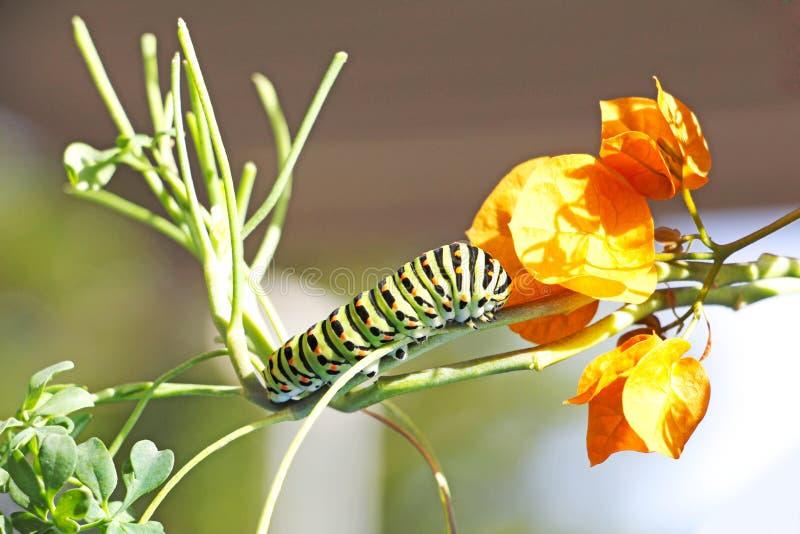 Caterpillar van vlinder Papilio machaon stock foto