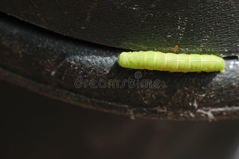Caterpillar verde en el borde de un trashcan fotos de archivo libres de regalías
