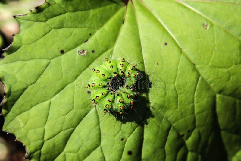 Caterpillar vert image stock