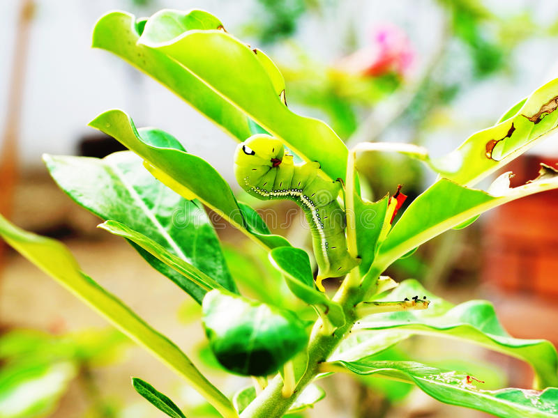Caterpillar. A voracious caterpillar are eating leaves stock photography